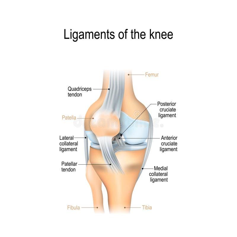 Ligamenten van de knie royalty-vrije illustratie