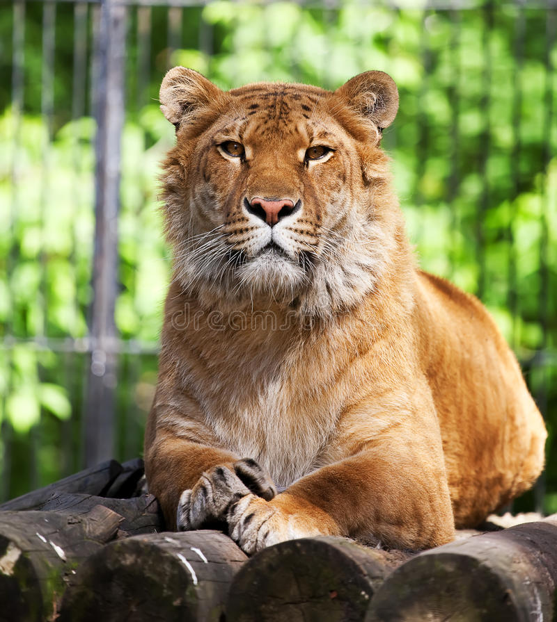 liger стоковое изображение