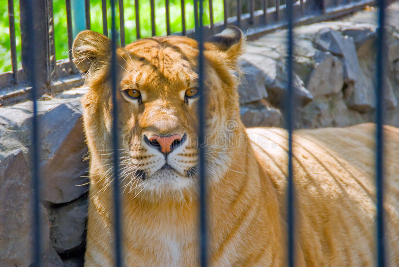 Liger royalty free stock image