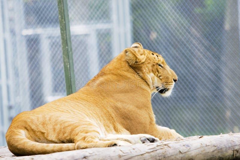 liger 免版税图库摄影