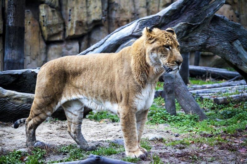 Liger branco para uma caminhada no aviário do jardim zoológico Ligr Um híbrido de um leão e de um tigre Um grande ligra masculino imagens de stock