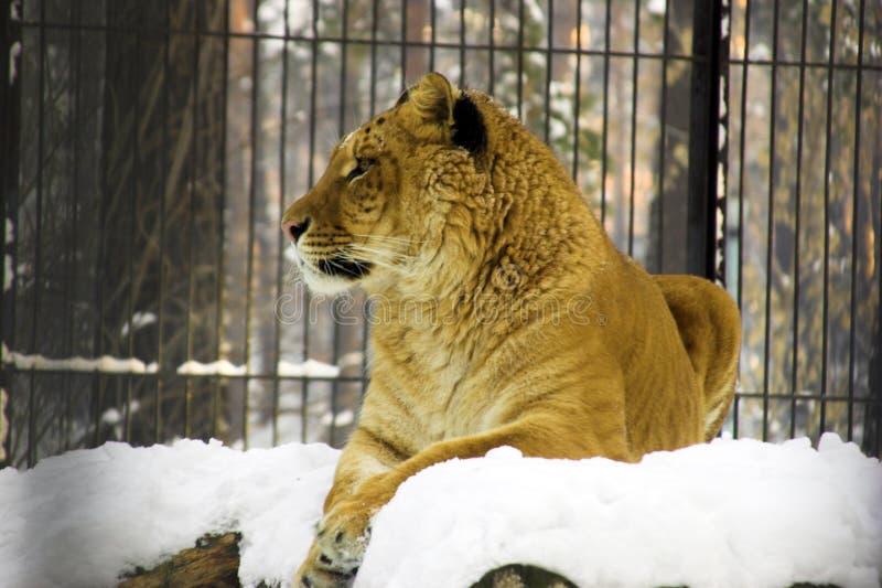 Liger che riposa sulla neve fotografia stock libera da diritti