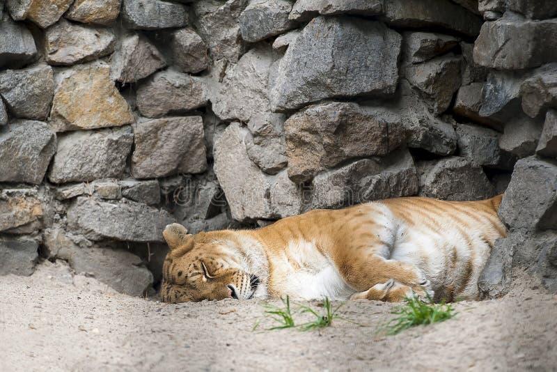Liger - hybrid- avkomma av en manlig lejonPanthera leo och en kvinnlig tigerPanthera tigris Kvinnlig vuxen liger sover arkivfoton