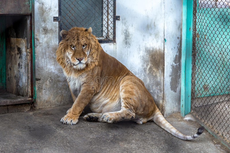 A Liger in the Siberian Tiger Park, Harbin, China. The Liger is the hybrid of a male lion and a female tiger, and there is only a 0.1% chance that such a baby royalty free stock images