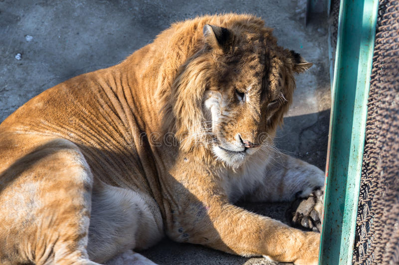 A Liger in the Siberian Tiger Park, Harbin, China. The Liger is the hybrid of a male lion and a female tiger, and there is only a 0.1% chance that such a baby royalty free stock photography