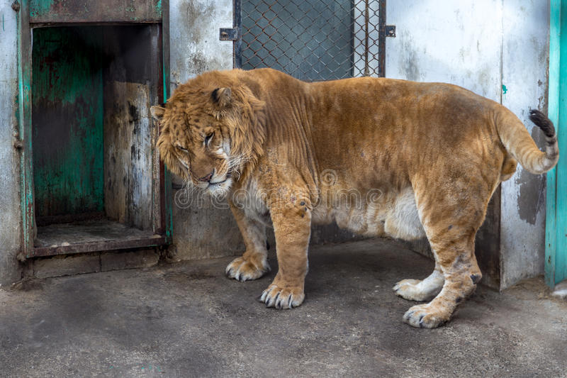 A Liger in the Siberian Tiger Park, Harbin, China. The Liger is the hybrid of a male lion and a female tiger, and there is only a 0.1% chance that such a baby stock image