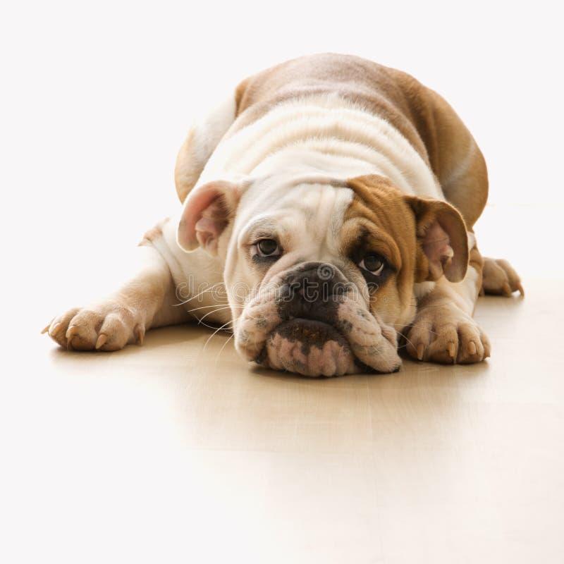 ligga för bulldogggolv royaltyfri foto