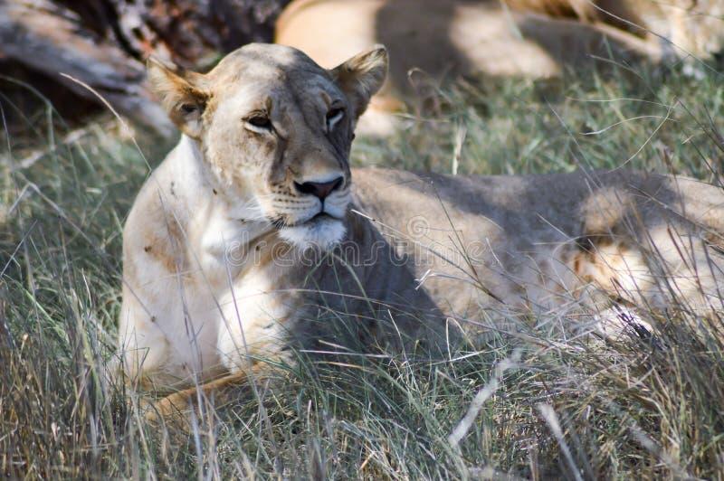 Ligga för lejoninna royaltyfri foto