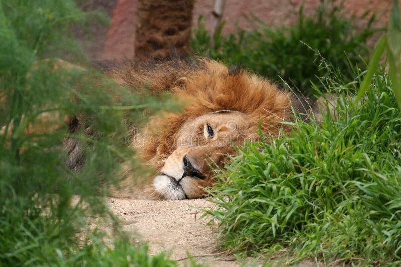 ligga för lion arkivbild