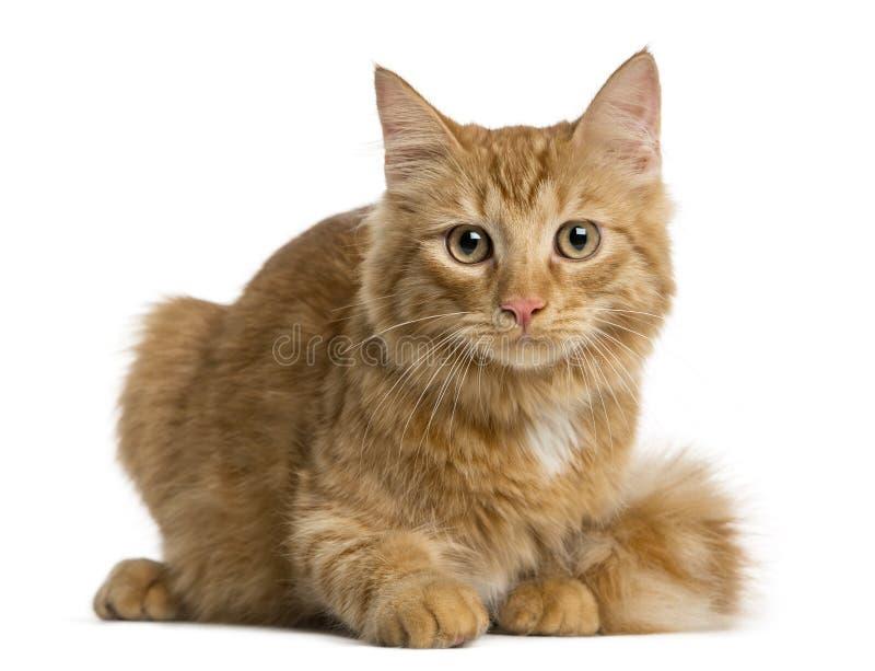 Ligga för Maine Coon kattunge royaltyfri bild