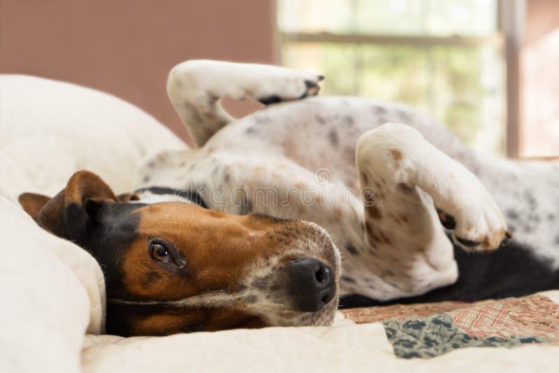 Ligga för Treeing Walker Coonhound hund som är uppochnervänt på säng arkivfoto