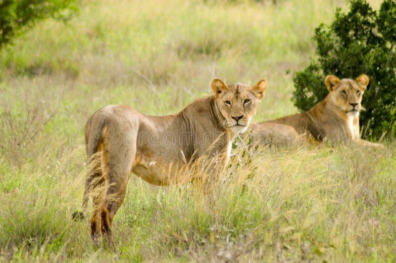 Ligga för två lejoninnor arkivfoton