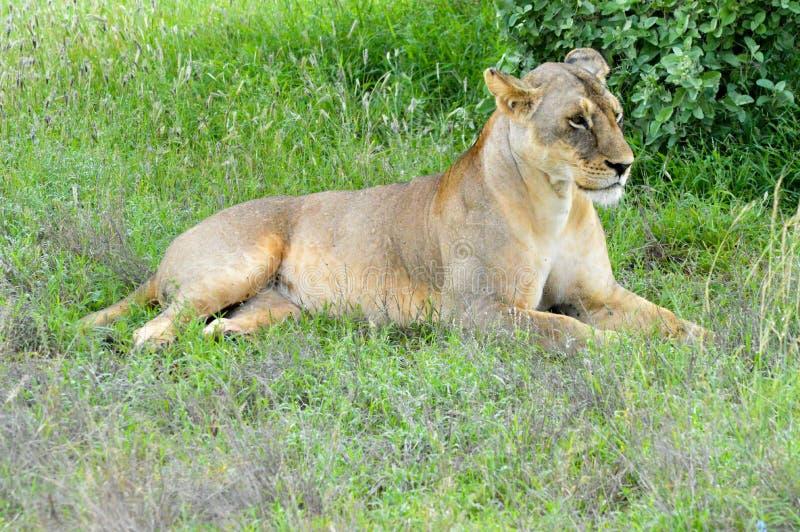 Ligga för två lejoninnor arkivfoto