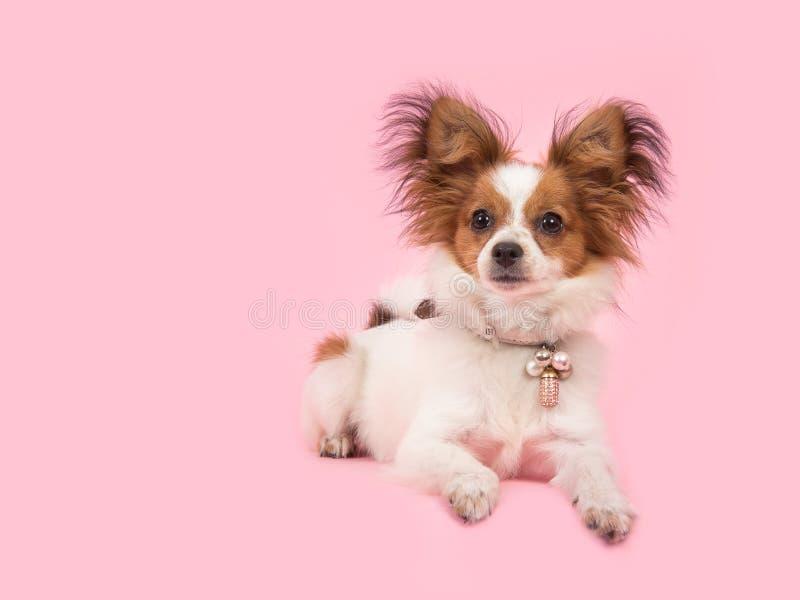 Ligga ner gullig papillonhund royaltyfri bild