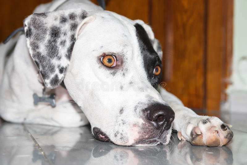 Liggande engelsk pekarehund med en liten skrapa på ögonlocket royaltyfria bilder