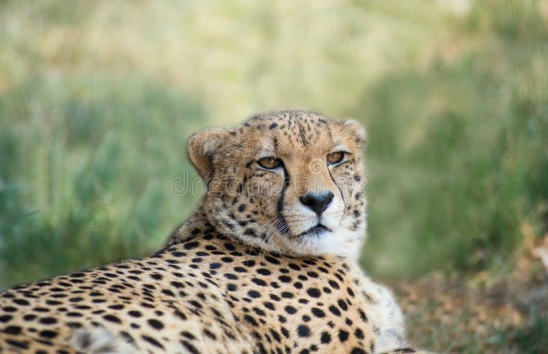 Liggande gepard arkivbilder