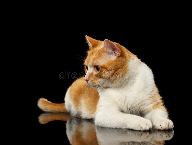 Liggande Ginger Cat Surprised Looking på vänstert på den svarta spegeln fotografering för bildbyråer