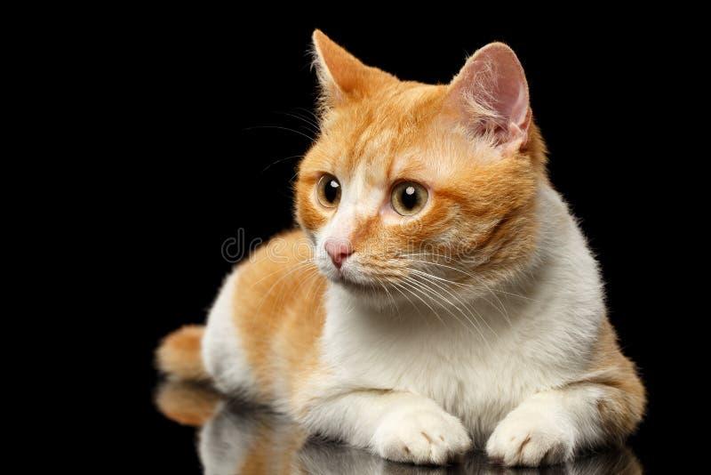 Liggande Ginger Cat Surprised Looking på vänstert på den svarta spegeln royaltyfri foto