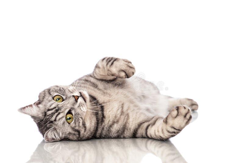 Liggande katt royaltyfria bilder