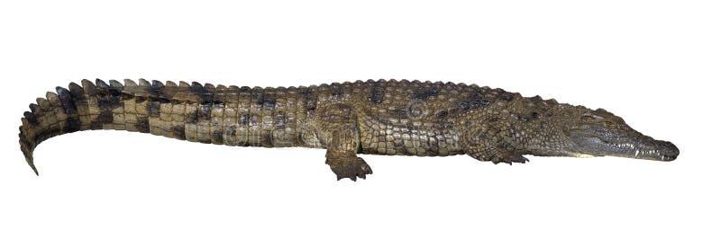 Liggande krokodil som isoleras på white royaltyfria foton