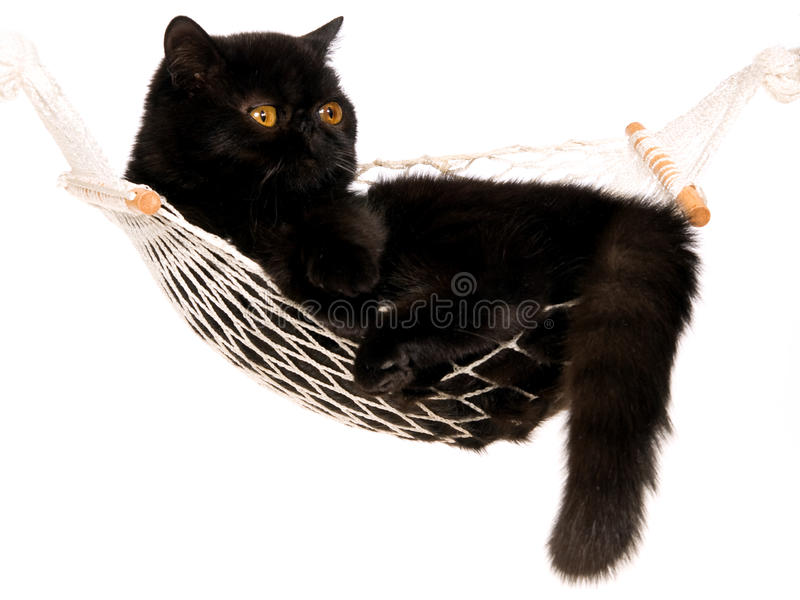 liggande miniperser för svart hängmatta för katt exotisk fotografering för bildbyråer