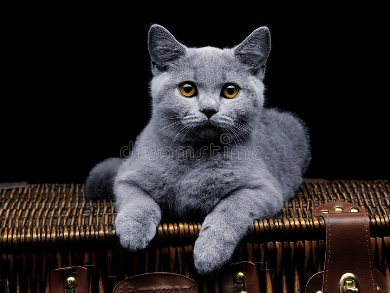 liggande resväskabarn för brittisk katt royaltyfri bild