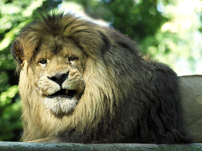 liggande stående för lion arkivfoto
