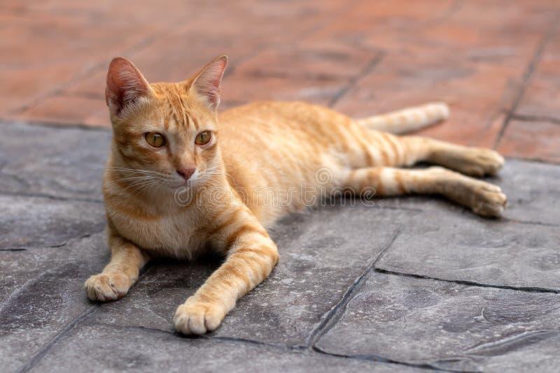 Liggande stirra för gul thailändsk katt arkivbild