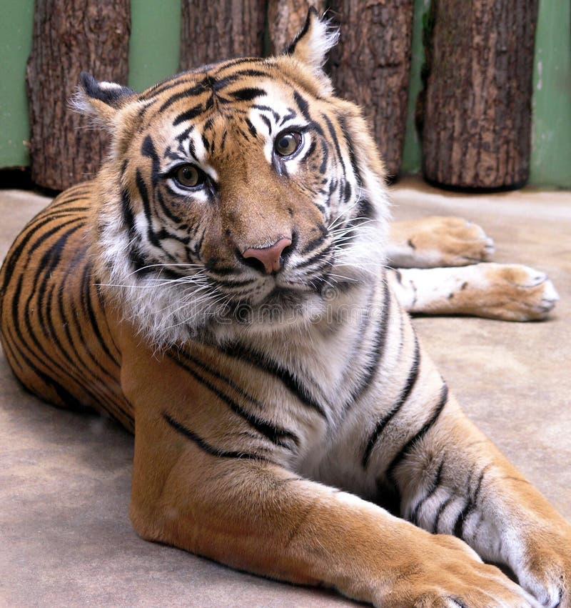 liggande tiger royaltyfria bilder