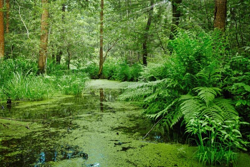 liggandemarshswamp royaltyfri bild