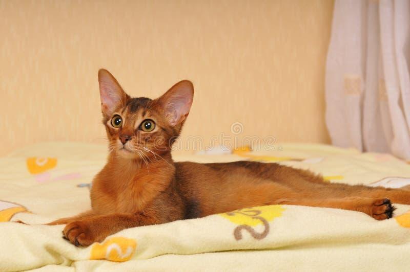 Liggend Somalisch katjesportret royalty-vrije stock afbeeldingen