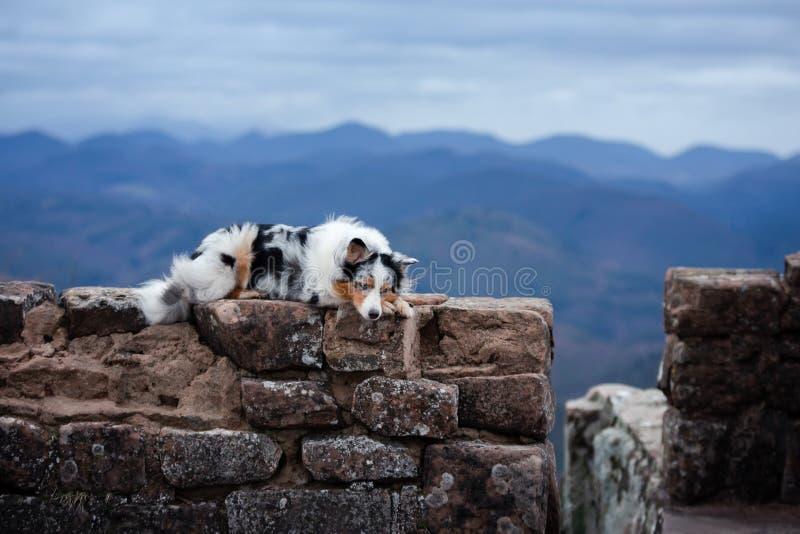 Ligger den australiska herden för hunden på stenarna Husdjuret på fördärvar i natur Resa berg arkivfoton