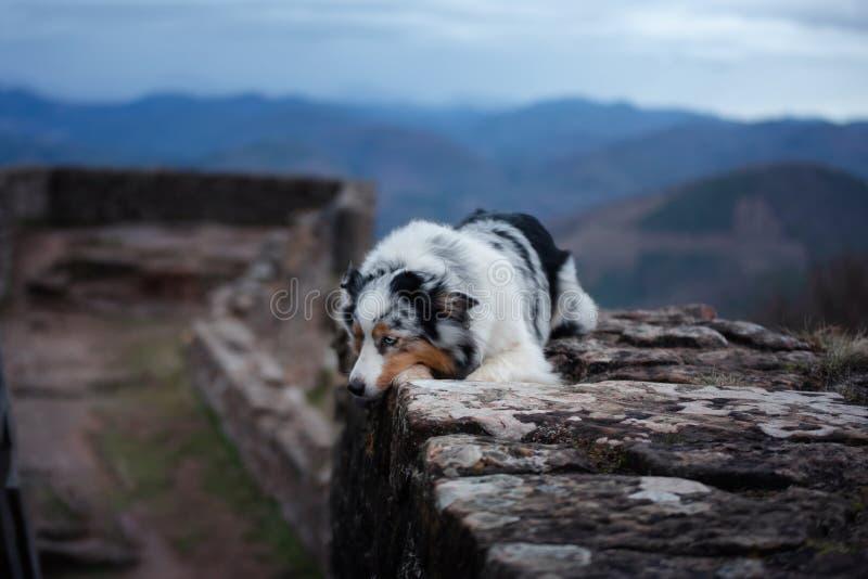 Ligger den australiska herden för hunden på stenarna Husdjuret på fördärvar i natur Resa berg royaltyfri foto