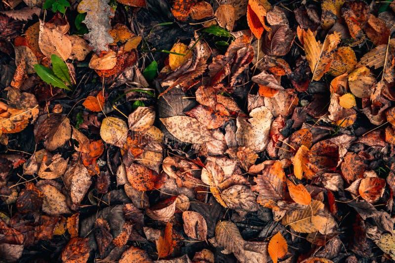 Ligger r?da, bruna och orange stupade sidor f?r b?sta sikt p? jordningen, h?stbakgrund arkivbilder