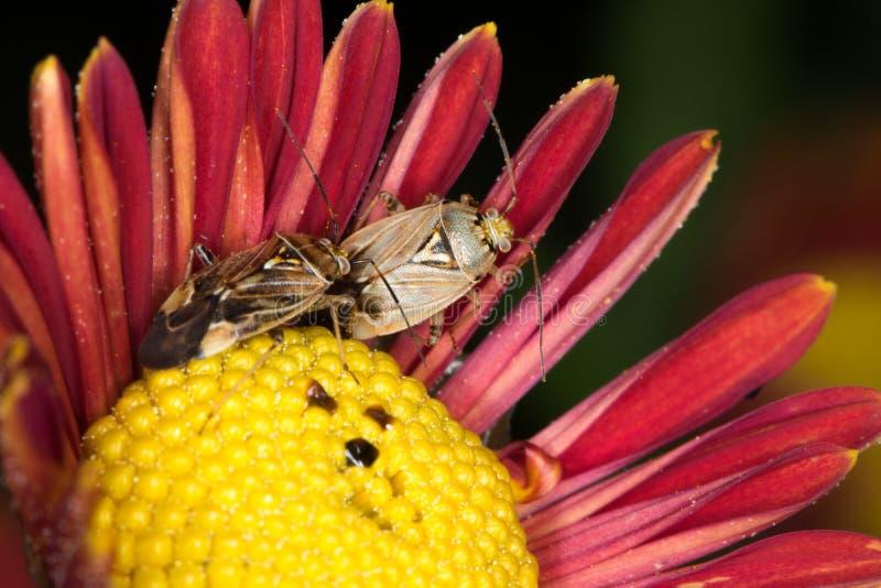 Lighi su un crisantemo fotografie stock
