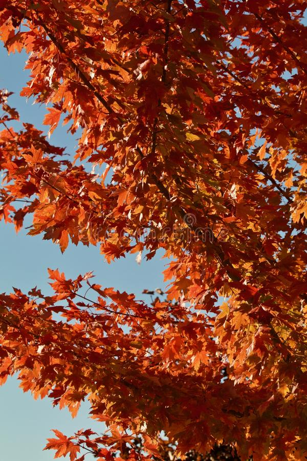 Blue sky with rust colored maple leaves. Light azure blue sky, orange rust maple leaves fine detail angling upward royalty free stock photo
