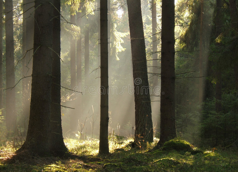 Light beams ib forest stock images