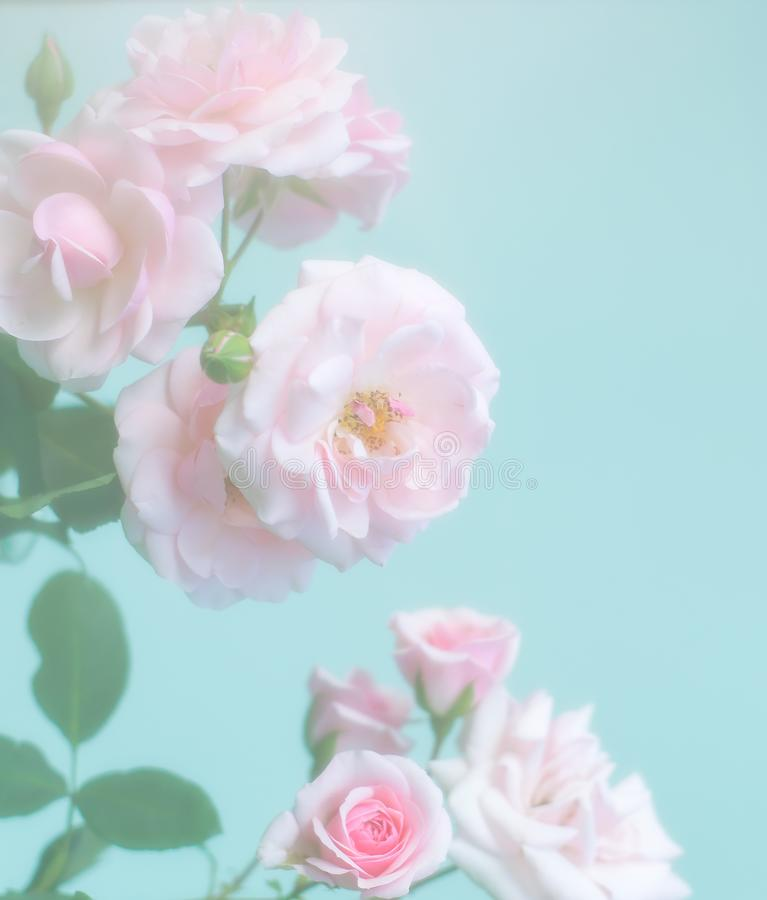 Delicate pale pink roses on soft blue vintage background. stock image