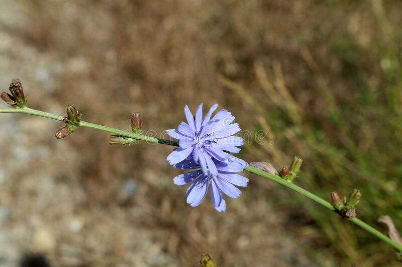Light blue Cichorium flower on the meadow stock photography