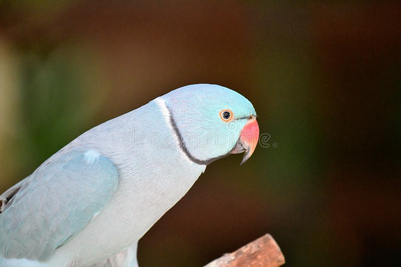 Light Blue Indian Ring neck Parrot. Red beak, black eyes with yellow ring. Browns ans greens in background royalty free stock images