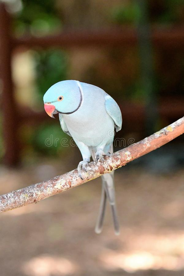 Light Blue Indian Ring neck Parrot. Standing on branch. Red beak, black eyes with yellow ring. Browns ans greens in background stock photography