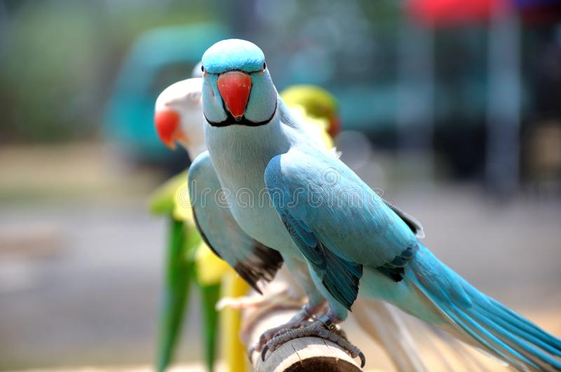 A light blue lory bird in the foreground with many others in the backdrop royalty free stock image