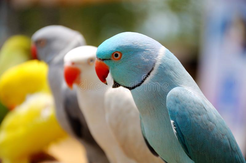 A light blue lory bird in the foreground with many others in the backdrop royalty free stock photo