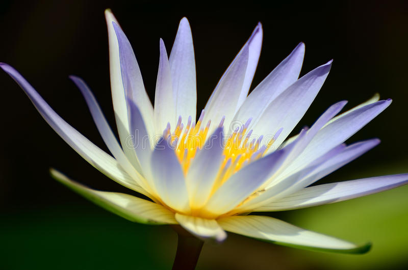 Light-blue Nymphaea royalty free stock images