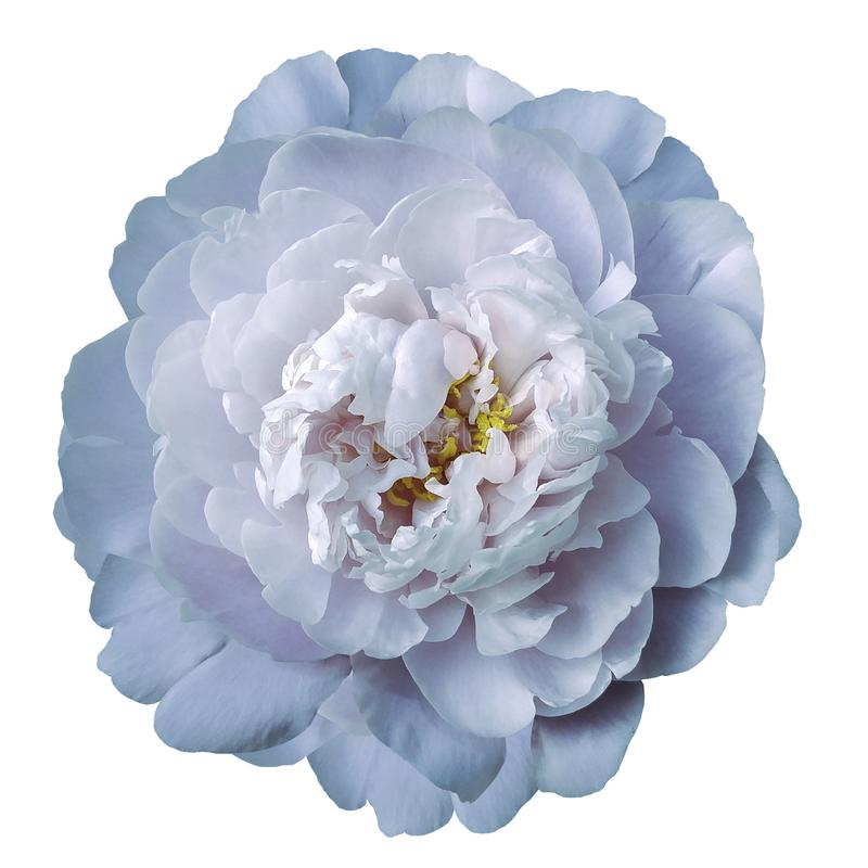 Light blue peony flower with yellow stamens on an isolated white background with clipping path. Closeup no shadows. For design. Nature stock images