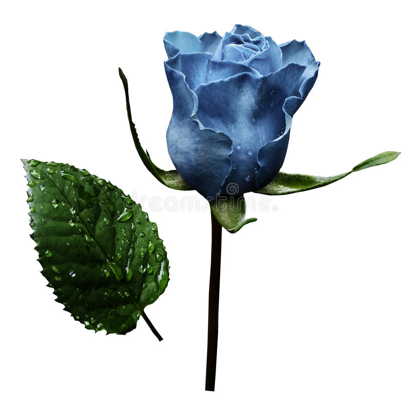 Light blue rose on white isolated background with clipping path. No shadows. Closeup. A flower on a stalk with green leaves aft stock photo