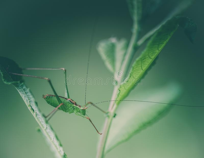 insect alone large green grasshopper close-up side on green background j with white light stock photo