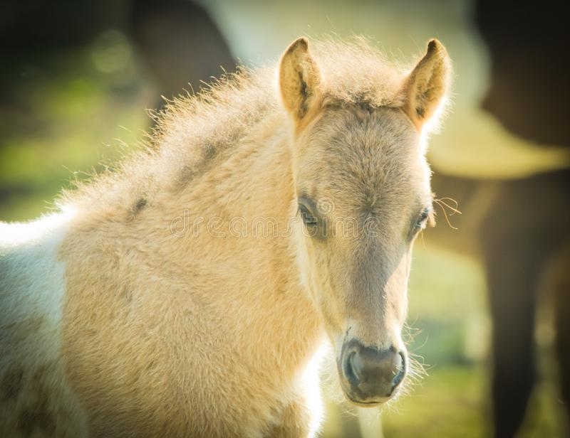 Light brindled foal is dreaming in the sun royalty free stock photos