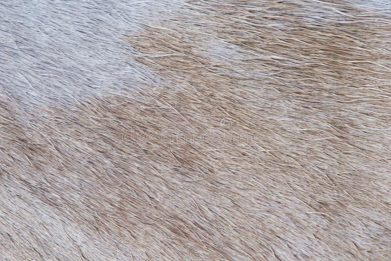 Light brown animal fur. Texture pattern close-up. Animal light hair stock photography