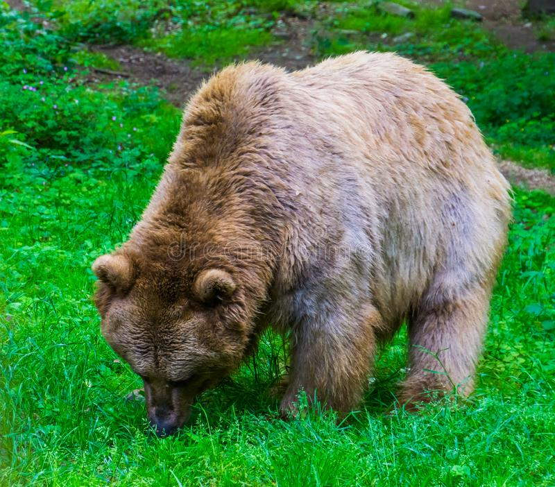 Light brown bear grazing in a pasture of the forest, omnivorous mammals stock photos